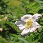 Rosa hirtula/ サンショウバラ