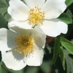Semi Rose/ ロサ・ラクサ