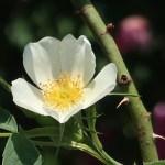 Semi Rose/ ロサ・ラクサ Figure of flower