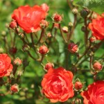 Modern garden rose/ Polyantha/ Rosa X Gloria Mundi/ グロリア・ムンディ figure of flowers