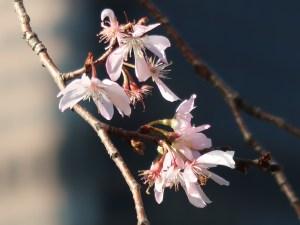 Octorber cherry ジュウガツザクラ 十月桜
