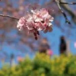 Cherry var. Kawazu-zakura/ カワヅサクラ