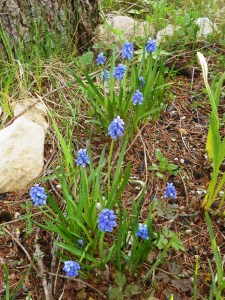 Muscaria (Muscari Atlanticum), Starch grape hyacinth, ムスカリ