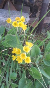 Primula vulgaris (it. Primula) Primrose/ プリムローズ