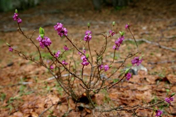 Daphne mezereum (Dafne), Mezereum/ セイヨウオニシバリ