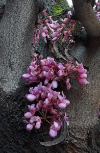 Cercis siliquastrum/ Judas tree / セイヨウハナズオウ