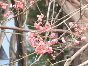 Euonymus hamiltonianus/ Hamilton's spindletree/ マユミ 真弓 Figure of fruit capsules