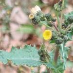 Sonchus asper/ Prickly Sow-thistle/ オニノゲシ Figure of flower