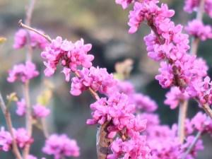 Cercis chinensis/ Chinese redbud/ ハナズオウ 花蘇芳 Figure of florescence