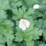 Anemone flaccida/ Wind flower/ ニリンソウ 二輪草 figure of flower