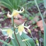 Erythronium tuolumnense/ Tuolumne fawn lily/ キバナカタクリ