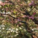 Cornus florida/ Flowering dogwood/ ハナミズキ