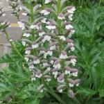Aacanthus mollis/ Bear's breeches/ ハアザミ 葉薊