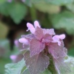Lamium purpureum/ Red dead-nettle/ ヒメオドリコソウ