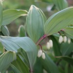 Polygonatum odoratum/ Angular Solomon's seal/ アマドコロ