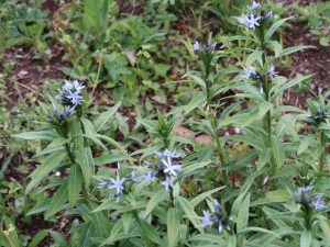 Amsonia elliptica/ Japanese Bluestar/ チョウジソウ