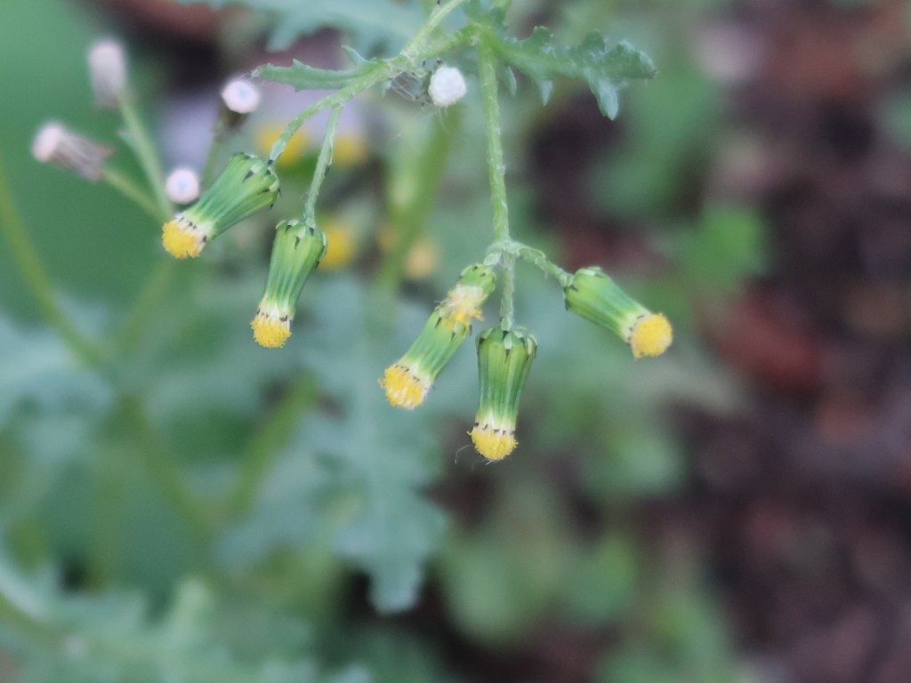 Senecio vulgaris/ Groundsel/ ノボロギク