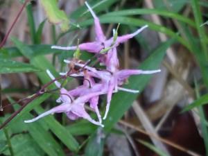 Epimedium grandiflorum var. thunbergianum/ Barrenwort/ イカリソウ