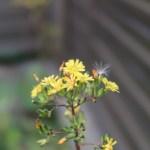 Youngia japonica/ Oriental false hawksbeard/ オニタビラコ