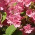 Weigela hortensis/ Weigela/ タニウツギ