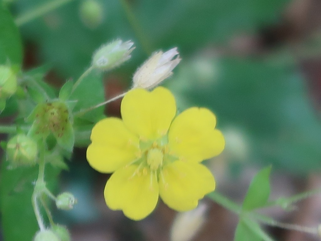 Potentilla fragarioides var. major/ Strawberry cinquefoil / キジムシロ