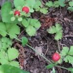 Potentilla hebiichigo/ false strawberry/ ヘビイチゴ