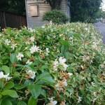 Trachelospermum asiaticum/ Asiatic jasmine/ テイカカズラ