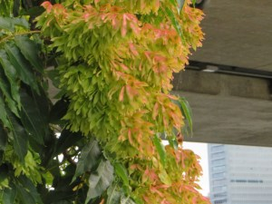 Ailanthus altissima/ Tree of heaven/ ニワウルシ