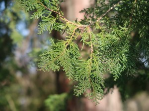 Chamaecyparis obtusa/ Japanese cypress/ ヒノキ