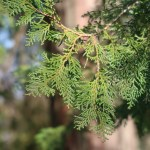 Chamaecyparis obtusa/ Japanese cypress/ ヒノキ