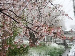 Cerasus × yedoensis/ Cherry var. someiyoshino/ ソメイヨシノ 雪の中で咲くソメイヨシノ