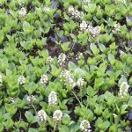 Menyanthes trifoliata/ Bogbean/ ミツガシワ