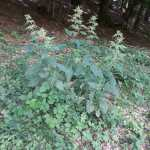 Urtica dioica/ Common nettle/ セイヨウイラクサ