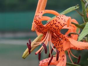 Lilium lancifolium/ Tiger lily/ オニユリ