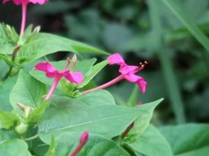 Mirabilis Jalapa/ Four o'clock flower/ オシロイバナ