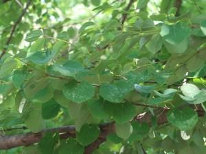 Cercidiphyllum japonicum/ Katsura/ カツラ