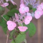 Hydrangea serrata/ Mountain hydrangea/ ヤマアジサイ 品種名 伊予丸