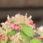 Hydrangea serrata/ Mountain hydrangea/ ヤマアジサイ 品種名 乙姫