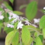 Hydrangea serrata/ Mountain hydrangea/ ヤマアジサイ 品種名 シチダンカ