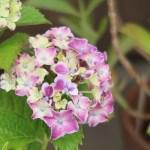Hydrangea macrophylla/ Bigleaf hydrangea/ アジサイ 品種名 センセーション