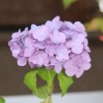 Hydrangea macrophylla/ Bigleaf hydrangea/ アジサイ 品種名 オタクサ