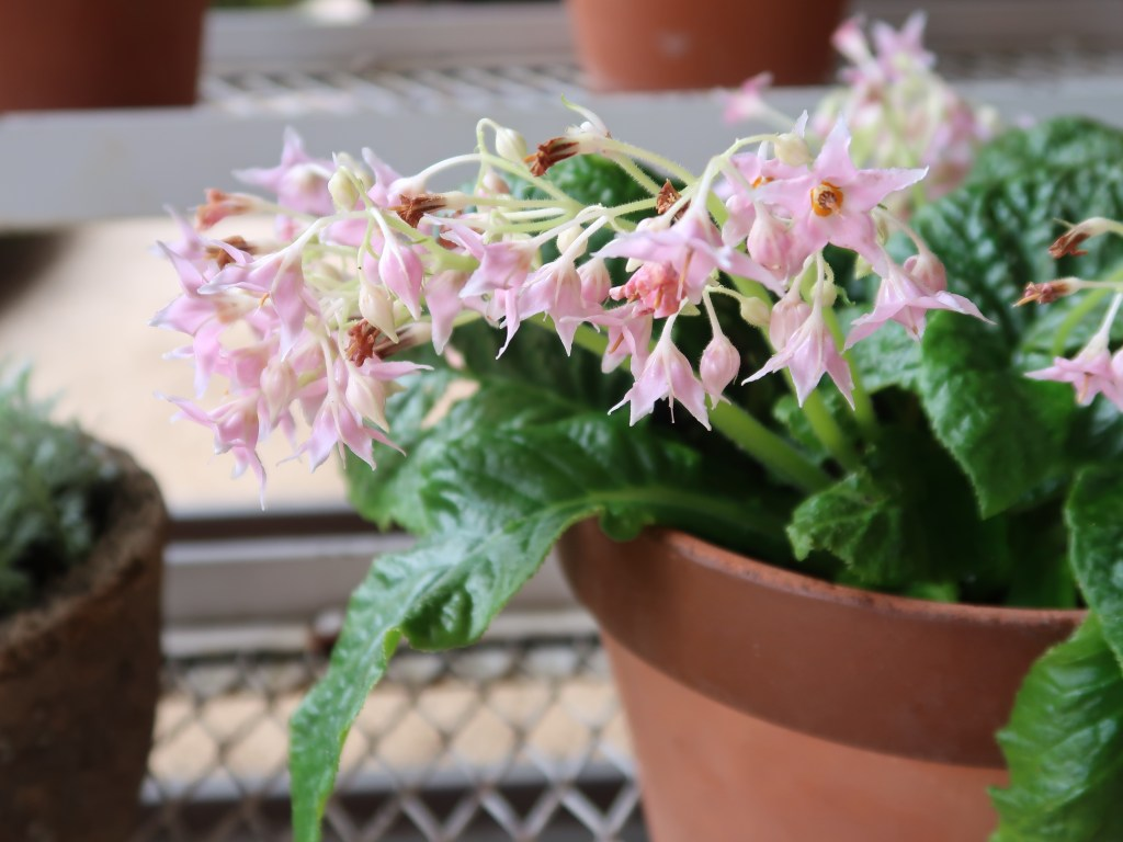 Conandron ramondioides/ イワタバコ