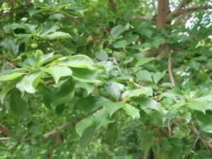 Magnolia kobus/ Kobushi magnolia/ コブシ