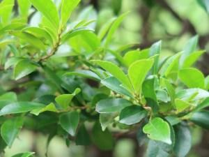Eurya japonica/ East Asian eurya/ ヒサカキ