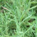 Lavandula dentata/ Fringed lavender/ フリンジド・ラベンダー