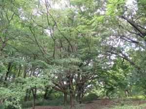 Chionanthus retusus/ Chinese Fringetree/ ヒトツバタゴ