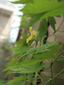 Momordica charantia var. pavel/ Bitter melon/ ゴーヤー