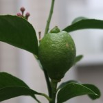 Citrus limon/ Lemon/ レモン