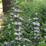 Leonurus macranthus/ Large flowered mother wort/ キセワタ
