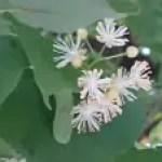 Tilia japonica/ Japanese lime/ シナノキ